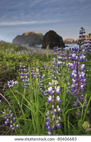 Wild lupine along the Oregon coast at Pistol River State Park