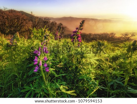 Wild Lupine Flowers at Sunset #1079594153