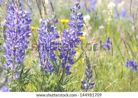 Wild lupine grows in abundance in the alpine meadows of the Rocky Mountains of Montana.