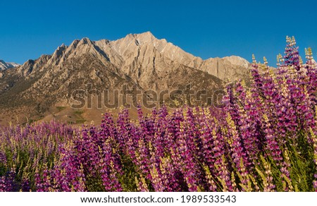 Wild lupine in front of the Sierra Nevada Mountains Stock fotó ©