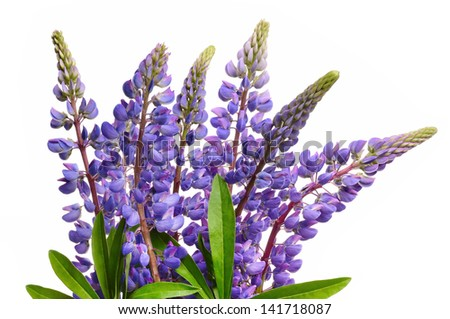 Wild lupines or bluebonnet flowers on white background