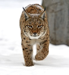 Wild Lynx in the winter forest