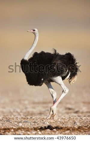 Wild male ostrich walking on rocky plains of etosha