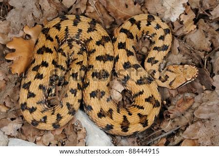 wild male Redi's viper (Vipera aspis francisciredi) - pattern.  Lombardia, Italy - stock photo