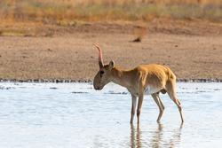 Wild male Saiga antelope or Saiga tatarica in steppe. Federal nature reserve Mekletinskii, Kalmykia, Russia.
