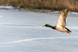 Wild mallard duck flying over the frozen lake. Beautiful wild bird in flight. Winter. Also known as Anas platyrhynchos