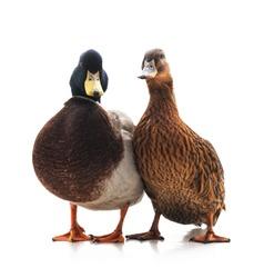 Wild mallard ducks isolated on a white background.