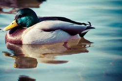 Wild Mallard ducks sitting in lake ice.