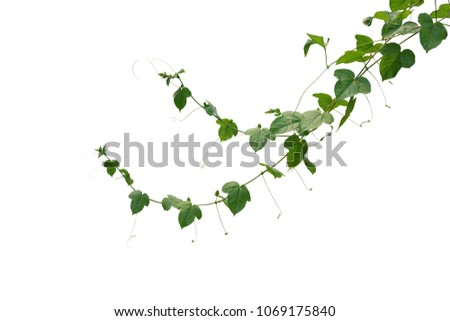 Wild maracuja or bush passion fruit (Passiflora foetida) green leaves creeping vines ivy plant isolated on white background, clipping path included.