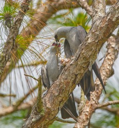 Wild Mating pair of Mississippi kite birds (Ictinia mississippiensis) male giving brown anole lizard to female with dead bird under her talon - long leaf pine tree branch - red eyes,  breeding ritual