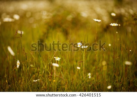 wild meadow chamomile on yellow sunset background #426401515