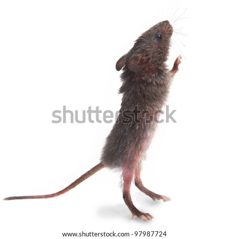 wild mice animal gray mouse rat standing on its hind legs sniffing isolated