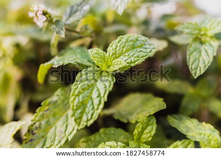 Wild mint leaf sprout, unfocused background. Foto stock ©