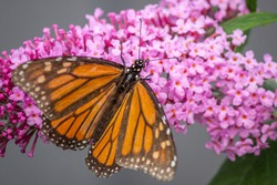 Wild Monarch Butterfly Feeding on Pink Profusion Buddleia Flowers, Romsey, Victoria, Australia, January 2021