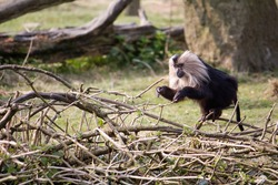 Wild monkey jumps on some branches. It's an angola colobus primate.