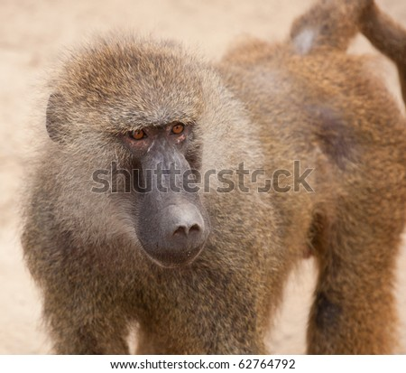 wild monkey walks in the garden