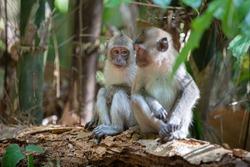 Wild monkeys in Khao Sok National Park, Thailand