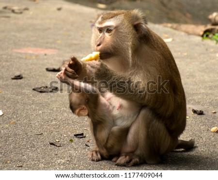 Wild monkeys in the jungle. Monkeys in the wild. Monkeys of the breed are Macaque. #1177409044