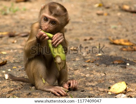 Wild monkeys in the jungle. Monkeys in the wild. Monkeys of the breed are Macaque. #1177409047