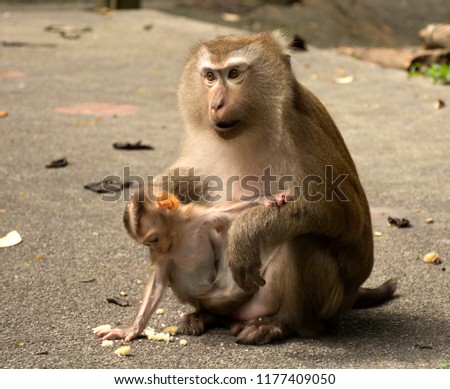 Wild monkeys in the jungle. Monkeys in the wild. Monkeys of the breed are Macaque. #1177409050