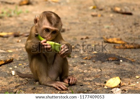 Wild monkeys in the jungle. Monkeys in the wild. Monkeys of the breed are Macaque. #1177409053