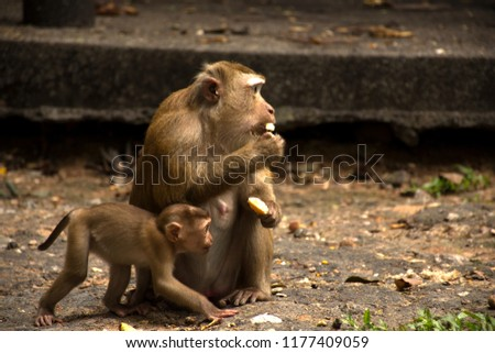 Wild monkeys in the jungle. Monkeys in the wild. Monkeys of the breed are Macaque. #1177409059