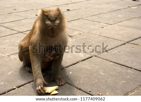 Wild monkeys in the jungle. Monkeys in the wild. Monkeys of the breed are Macaque. #1177409062