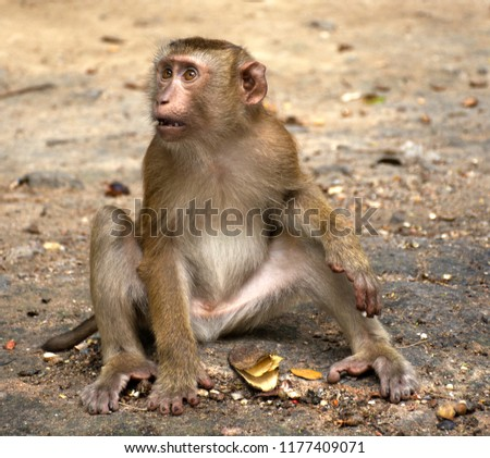 Wild monkeys in the jungle. Monkeys in the wild. Monkeys of the breed are Macaque. #1177409071