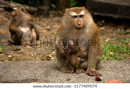 Wild monkeys in the jungle. Monkeys in the wild. Monkeys of the breed are Macaque. #1177409074