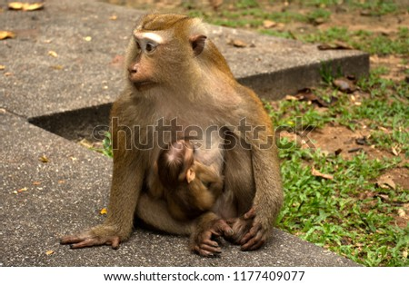 Wild monkeys in the jungle. Monkeys in the wild. Monkeys of the breed are Macaque. #1177409077