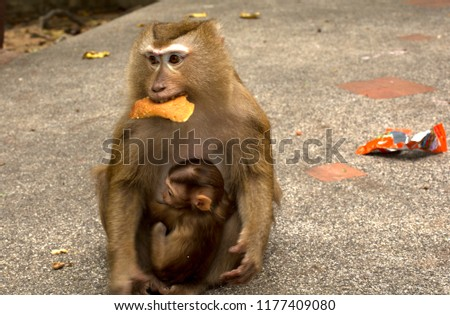 Wild monkeys in the jungle. Monkeys in the wild. Monkeys of the breed are Macaque. #1177409080