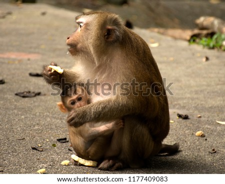 Wild monkeys in the jungle. Monkeys in the wild. Monkeys of the breed are Macaque. #1177409083