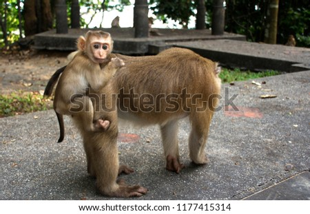 Wild monkeys in the jungle. Monkeys in the wild. Monkeys of the breed are Macaque. #1177415314