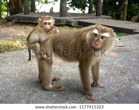 Wild monkeys in the jungle. Monkeys in the wild. Monkeys of the breed are Macaque. #1177415323