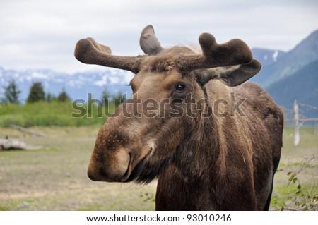 Wild moose, Alaska - stock photo