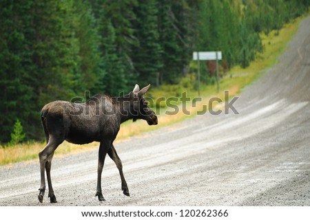 Wild Moose crossing a gravel road, Kananaskis Country Alberta Canada