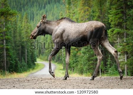 Wild Moose crossing a gravel road, Kananaskis Country Alberta Canada - stock photo