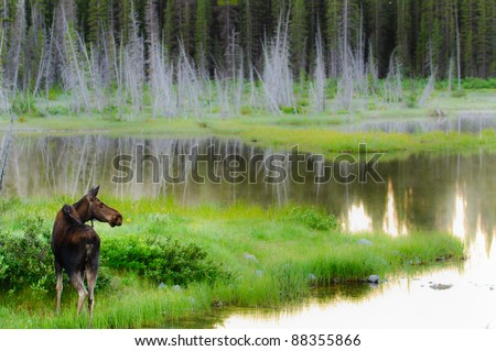 Wild Moose feeding by a lakeshore at sunrise Kananaskis Country Alberta Canada