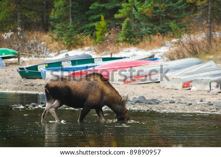 Wild moose feeding on the shore of a mountain lake, Jasper National Park Alberta Canada