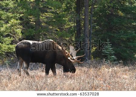 Wild Moose in the Canadian Rocky Mountains Kananaskis Country Alberta Canada
