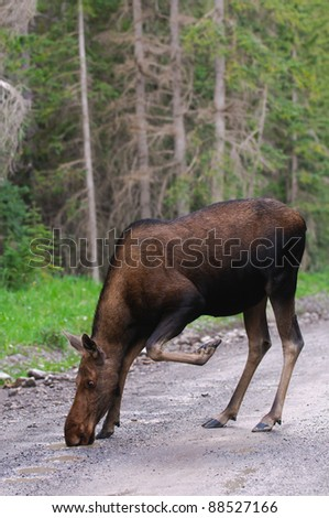 Wild Moose in the mountains, Kananaskis country Alberta Canada - stock photo