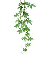 Wild morning glory climbing vine hanging with palmate green leaves and budding flower isolated on white background, clipping path included.