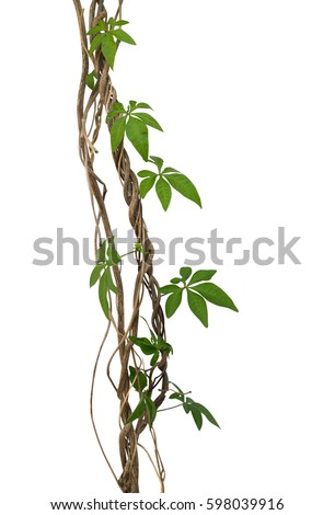 Wild morning glory vine leaves climbing on twisted jungle liana tropical plant isolated on white background, clipping path included #598039916