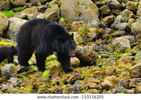 Wild mother Black Bear and her cubs feeding on the shoreline of the Pacific Ocean, Tofino British Columbia, Canada