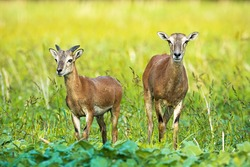 Wild mouflon, ovis orientalis, ewe and young ram with little horn growing on green field. Mammals with brown fur facing camera and looking away in summer nature.