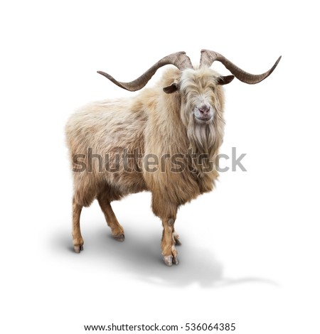 Wild mountain goat Isolated on the white background #536064385
