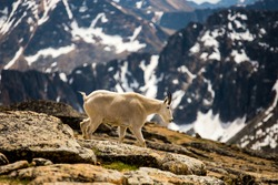Wild mountain goat walking along a mountain range. British Columbia. Huge mountains in the background. Majestic creature. Gorgeous landscape.