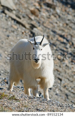 Wild Mountain Goats on a rocky cliff, Banff National Park Alberta Canada