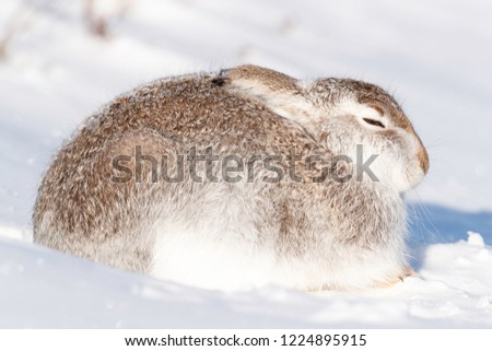 Wild mountain hare sitting on snow in the Scottish highlands national park, the Cairngorms. The hares are native to the British Isle and live on higher ground in the mountains.  #1224895915