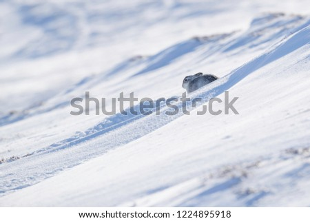 Wild mountain hare sitting on snow in the Scottish highlands national park, the Cairngorms. The hares are native to the British Isle and live on higher ground in the mountains.  #1224895918